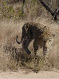 Leopard på kruger Royaltyfri Bild