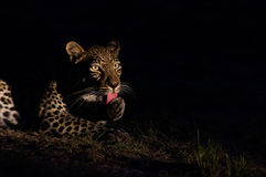 Leopard på natten Arkivfoto