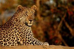 Leopard på solnedgången Arkivfoto