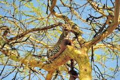Leopard på Tree Fotografering för Bildbyråer