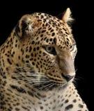 Leopard, panter Royalty Free Stock Photo