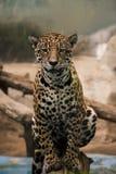 Leopard panter som ser ögonkontakten Arkivbilder