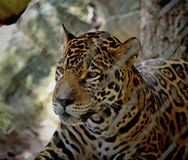 Leopard, Panther royalty free stock images