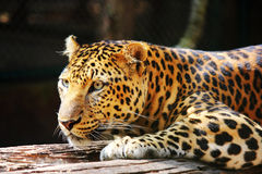 Leopard panther looking Stock Photo