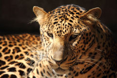 Leopard panther looking. On tree Royalty Free Stock Photography