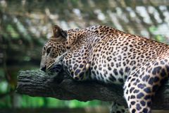 A leopard panther Panthera pardus while resting on a tree branch stock image