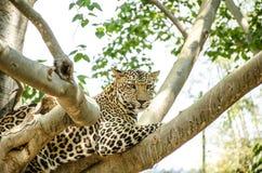 Leopard, Panther (Panthera pardus). Stock Photo