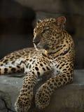 Leopard panther Stock Photos