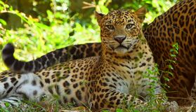 leopard panther resting relax on tree - Snmek stock photography