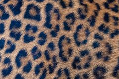 Leopard, panther, the skin. Unique pattern on the skin stock photography