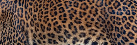 Leopard, panther, the skin. Unique pattern on the skin stock photo