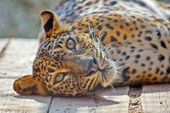 Leopard Panthera Ardus Kotiya Head Closeup stock photography