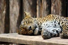 Leopard Panthera Ardus Kotiya Sleeping stock image