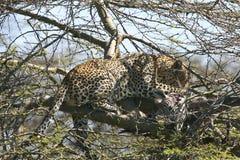 Leopard (Panthera pardus) stock photos