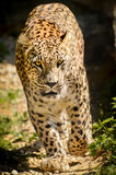 Leopard - Panthera pardus Royalty Free Stock Photos