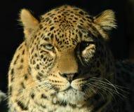 Leopard (Panthera pardus). Portrait Stock Photography