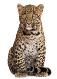Leopard, Panthera pardus, 6 μηνών, κάθισμα στοκ φωτογραφία με δικαίωμα ελεύθερης χρήσης