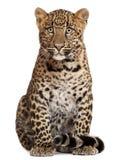 Leopard, Panthera pardus, 6 Monate alte, sitzend Lizenzfreies Stockfoto