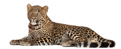 Leopard, Panthera pardus, 6 months old, lying Stock Image