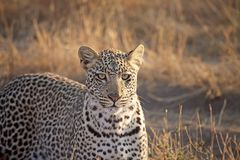 Leopard (Panthera pardus) Royalty Free Stock Photo