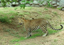 Leopard - Panthera Pardus. A beautiful spotted leopard standing at Chattbir Zoo Chandigarh India Stock Images