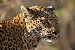 Leopard (Panthera pardus) - Botswana. An adult female Leopard (Panthera pardus) in the Savuti area of Botswana Royalty Free Stock Image