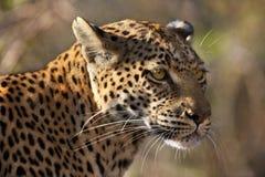 Leopard (Panthera pardus) - Botswana Royalty Free Stock Image
