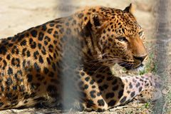 Leopard (Panthera pardus) in captivity lying on ground in cage Stock Photos