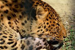 Leopard (Panthera pardus) in captivity lying on ground in cage Royalty Free Stock Photos