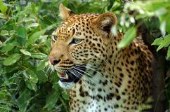 Leopard (Panthera pardus) close-up Royalty Free Stock Photo