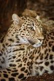 Leopard Panthera Pardus. Closeup Portrait of Leopard Panthera Pardus stock images