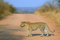 Leopard (Panthera pardus) stock photography