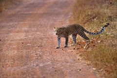 Leopard (Panthera pardus) crossing the road Royalty Free Stock Photography