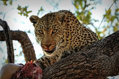 A leopard eating an antelope on a tree, Kruger National Park, South Africa Royalty Free Stock Images