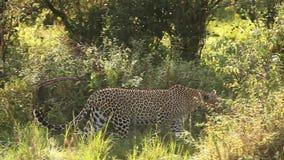 Leopard, Panthera pardus, Erwachsener, der in Bush, Masai Mara Park geht, in Kenia, stock footage