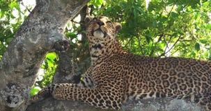 Leopard, Panthera pardus, Erwachsener, der im Baum, Masai Mara Park steht, in Kenia, stock video