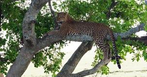 Leopard, Panthera pardus, Erwachsener, der im Baum, Masai Mara Park steht, in Kenia, stock video footage