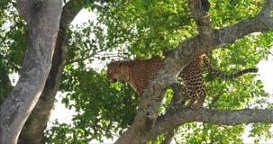 Leopard, Panthera pardus, Erwachsener, der im Baum, Masai Mara Park steht, in Kenia, stock footage