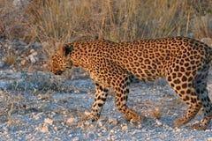 Leopard panthera pardus in the Etosha National Park stock photos