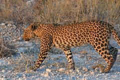 Leopard panthera pardus in the Etosha National Park stock photo