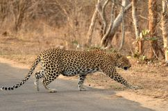 Leopard (Panthera pardus) Royalty Free Stock Photography