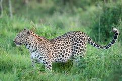 Leopard, Panthera pardus. Female Leopard, Panthera pardus, with prey, Masai Mara, Kenya Royalty Free Stock Photography
