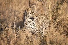 Leopard (Panthera pardus) Stock Photos
