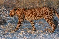 Leopard Panthera pardus im Nationalpark Etosha stockbild