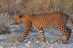 Leopard Panthera pardus im Nationalpark Etosha stockfoto