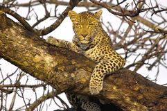 Leopard (Panthera pardus) Stock Images