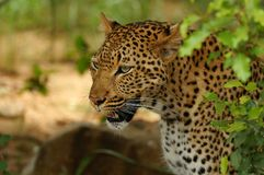 Leopard (Panthera pardus) royalty free stock image