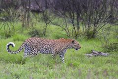Leopard (Panthera pardus) Royalty Free Stock Images