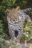 Leopard (Panthera pardus) lying in bushes Royalty Free Stock Images