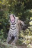 Leopard (Panthera pardus) lying in bushes yawning Stock Photography